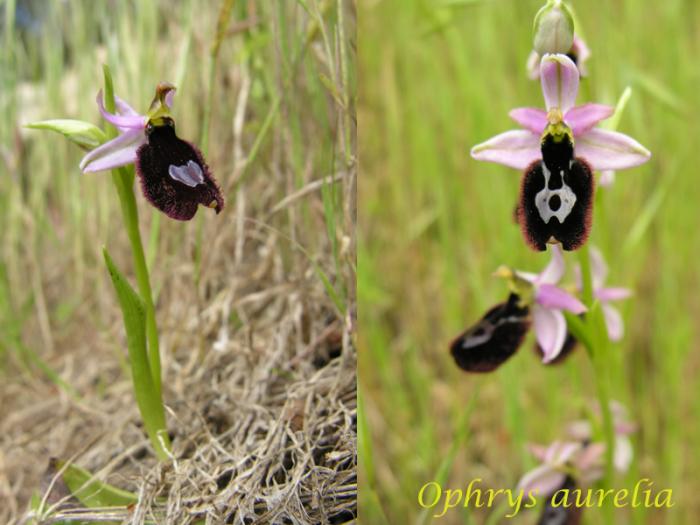 """Ophrys bertolonii bertolonii (""""aurelia"""") M_101779625_0"""