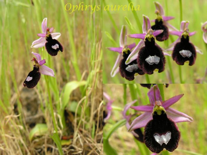 """Ophrys bertolonii bertolonii (""""aurelia"""") M_101779630_0"""