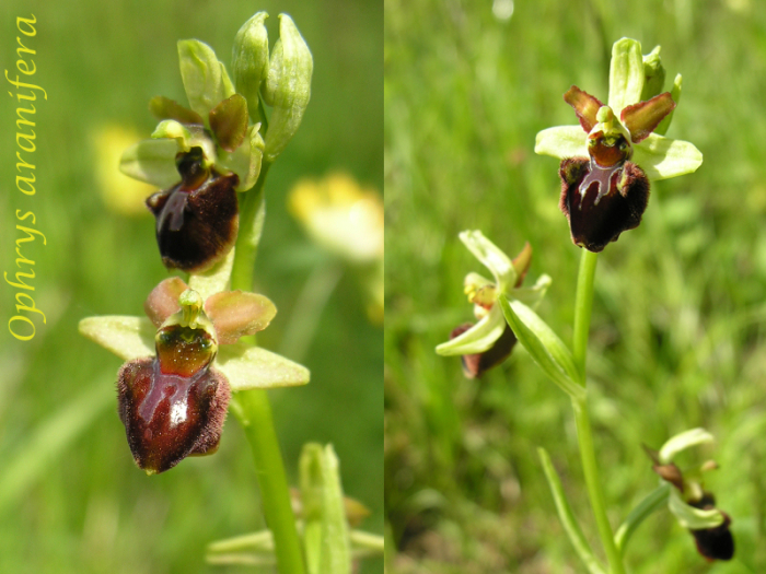 Ophrys aranifera ( = sphegodes , Ophrys araignée ) M_101879891_0