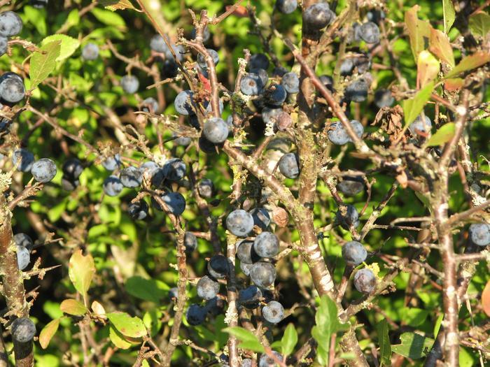 buisson avec boules noires...comestible! merci ;o) M_119990839_0