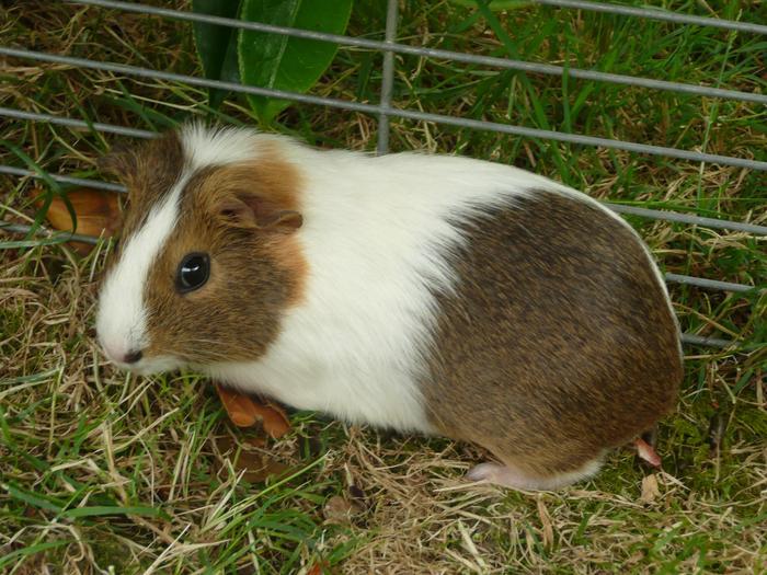 1 femelle cochon d'inde M_148752760_0