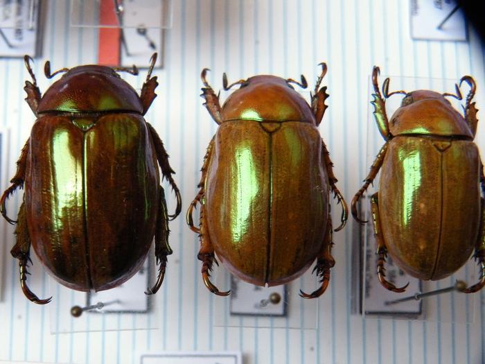 Présentation des collections Entomologiques - Page 2 M_215157137_0