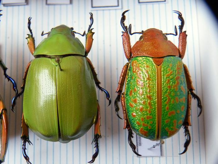 Présentation des collections Entomologiques - Page 2 M_215157309_0