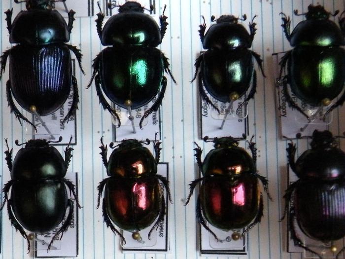 Présentation des collections Entomologiques - Page 2 M_215157356_0