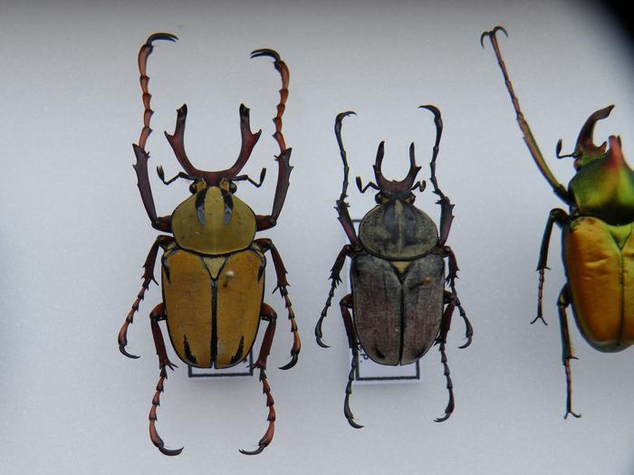 Présentation des collections Entomologiques - Page 2 M_215212216_0