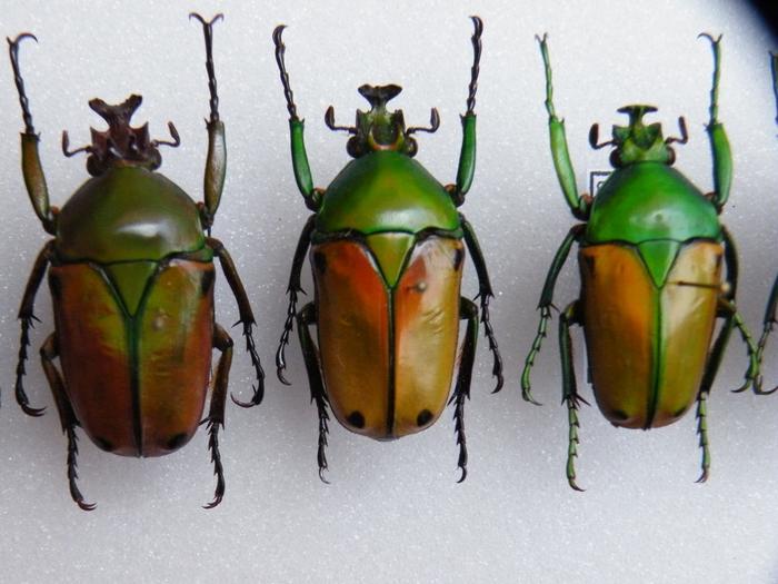 Présentation des collections Entomologiques - Page 2 M_215312181_0