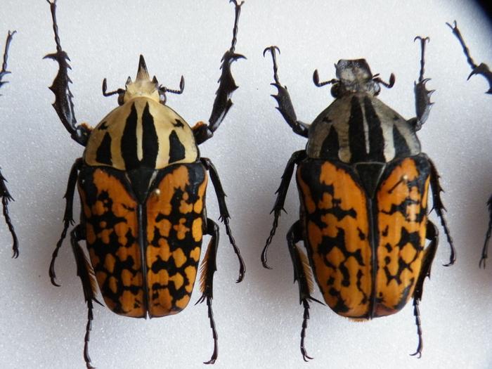Présentation des collections Entomologiques - Page 2 M_215312467_0