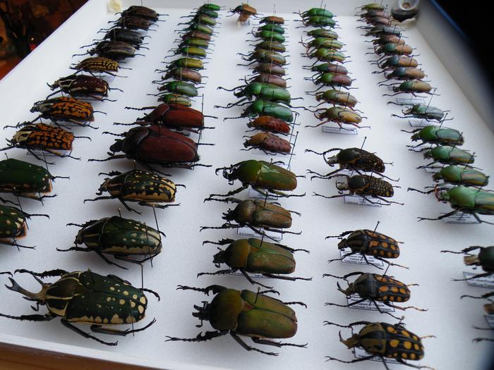 Présentation des collections Entomologiques - Page 2 M_215312620_0