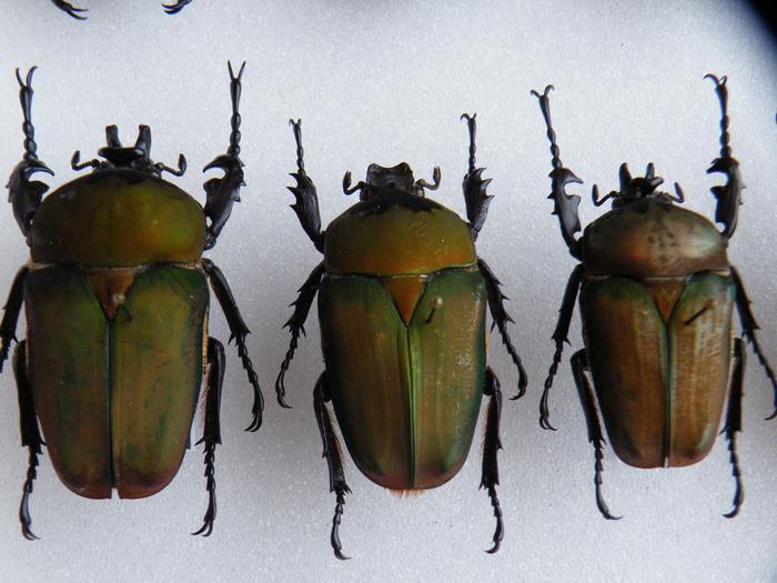 Présentation des collections Entomologiques - Page 2 M_215312781_0