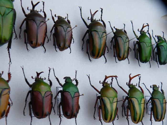 Présentation des collections Entomologiques - Page 2 M_215313287_0