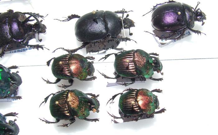 Présentation des collections Entomologiques - Page 2 M_215435300_0