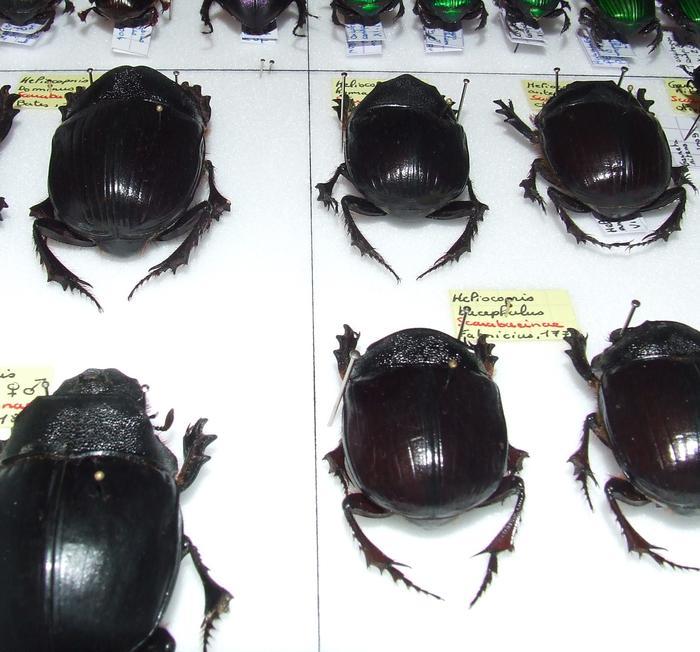 Présentation des collections Entomologiques - Page 2 M_215435404_0