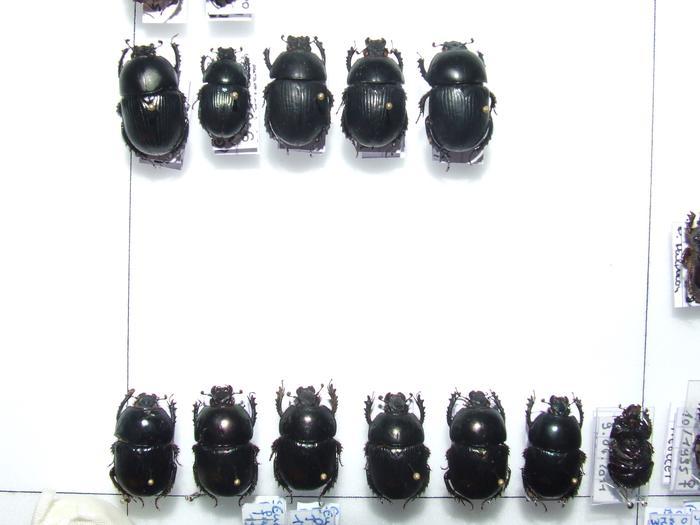 Présentation des collections Entomologiques - Page 2 M_215435904_0