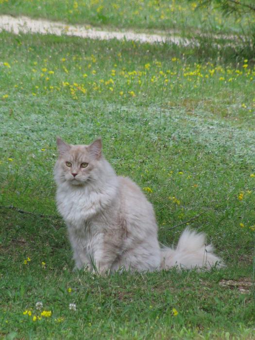 Nouvelles de Hoops petit chaton blanc! M_242476634_0