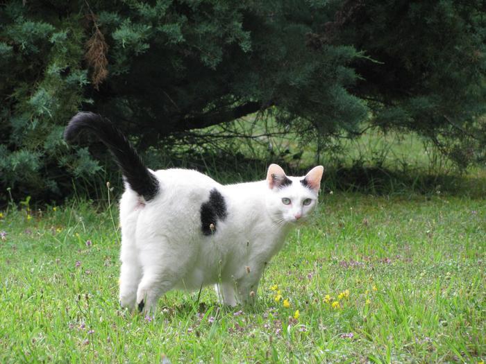 Nouvelles de Hoops petit chaton blanc! M_242477877_0