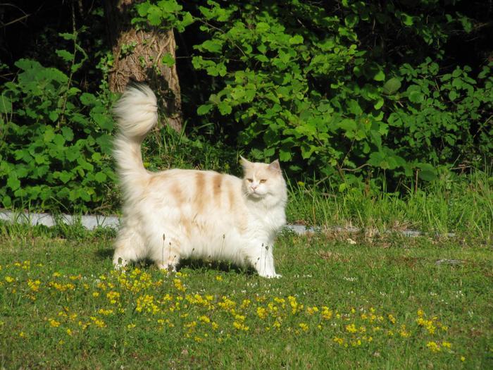 Nouvelles de Hoops petit chaton blanc! M_242478248_0