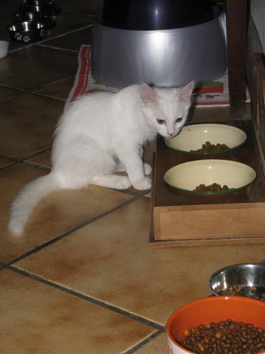 Nouvelles de Hoops petit chaton blanc! M_242626154_0