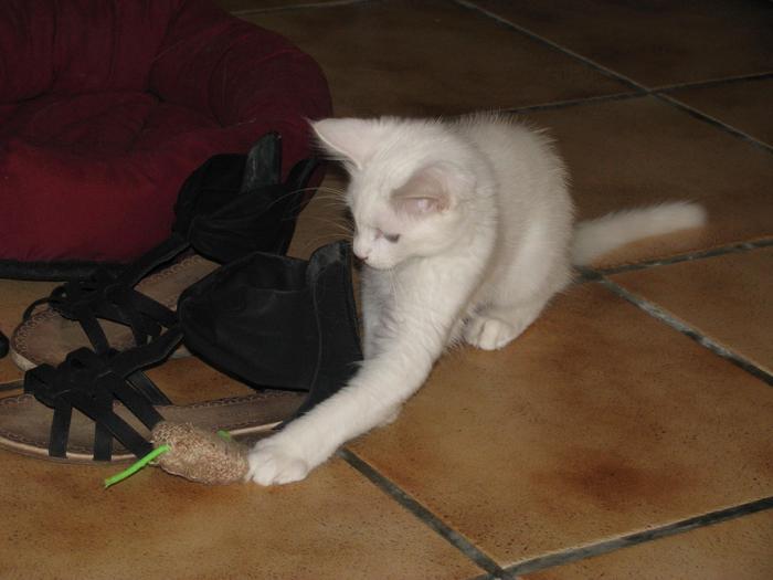 Nouvelles de Hoops petit chaton blanc! M_242709499_0