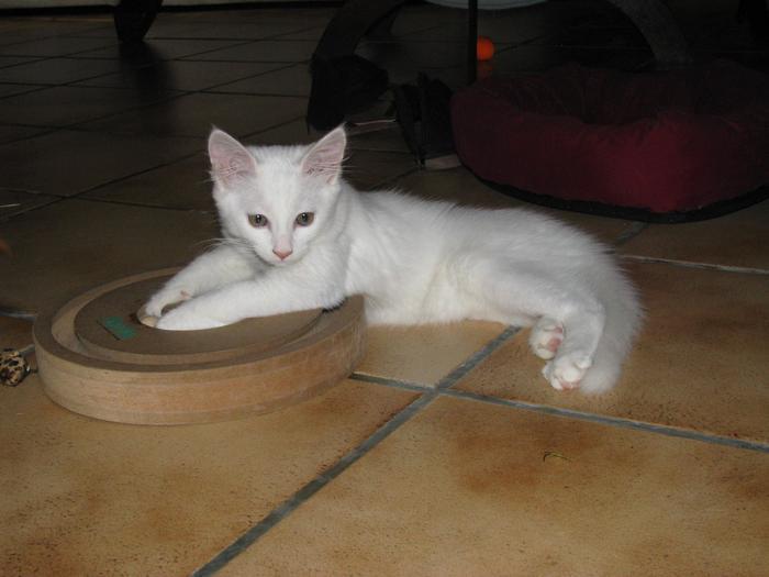 Nouvelles de Hoops petit chaton blanc! M_242710392_0