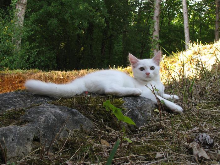 Nouvelles de Hoops petit chaton blanc! M_245263641_0