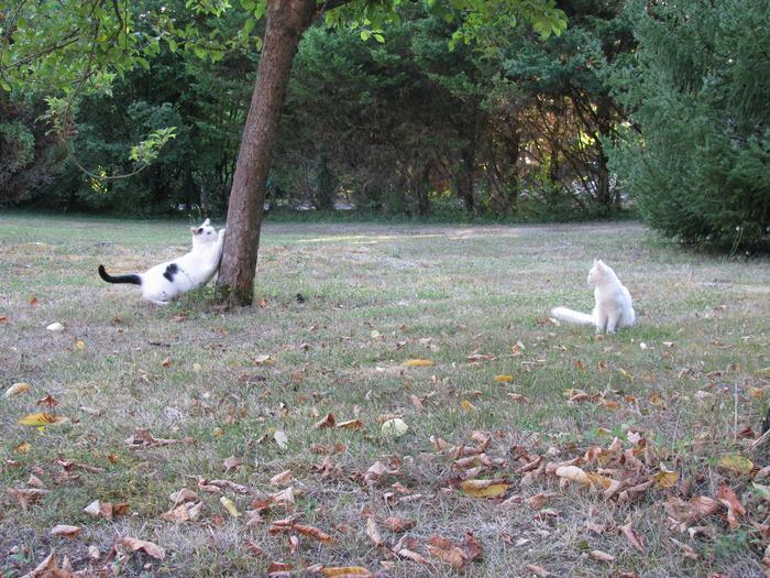 Nouvelles de Hoops petit chaton blanc! M_247347807_0