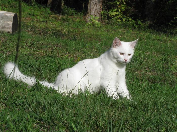 Nouvelles de Hoops petit chaton blanc! M_255588801_0