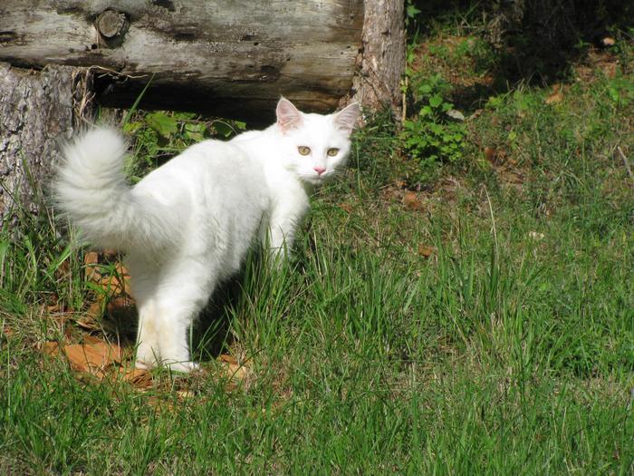 Nouvelles de Hoops petit chaton blanc! M_255590705_0