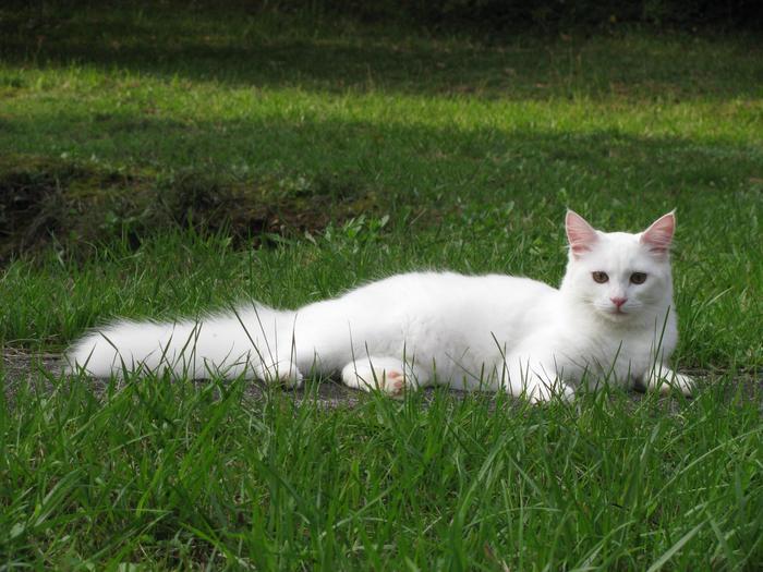 Nouvelles de Hoops petit chaton blanc! M_256204532_0