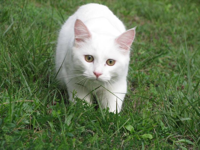 Nouvelles de Hoops petit chaton blanc! M_256205847_0