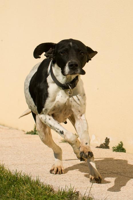 URGENT! A placer: Belle, chienne pointer de 6 ans M_272671840_0
