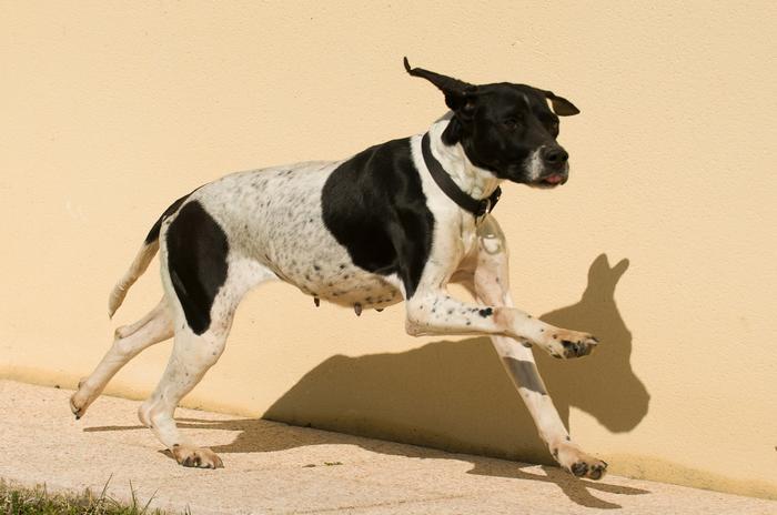 URGENT! A placer: Belle, chienne pointer de 6 ans M_272671968_0