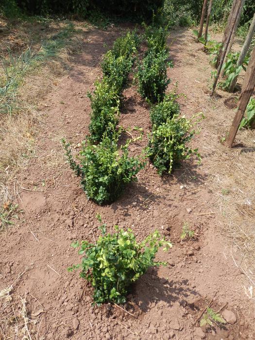 Protéger ses jeunes plants avec des fougères M_296663972_0