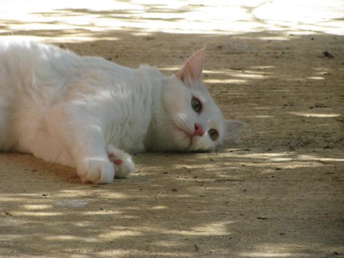 Nouvelles de Hoops petit chaton blanc! M_300197442_0
