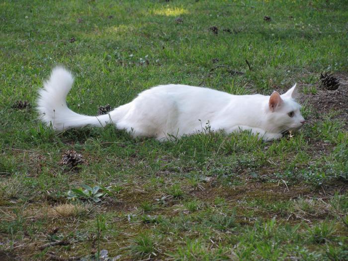 Nouvelles de Hoops petit chaton blanc! M_300199149_0