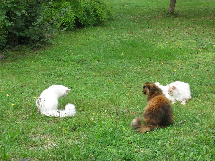 Nouvelles de Hoops petit chaton blanc! M_319399229_0