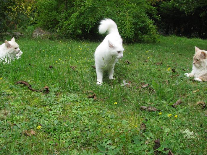 Nouvelles de Hoops petit chaton blanc! M_319404703_0