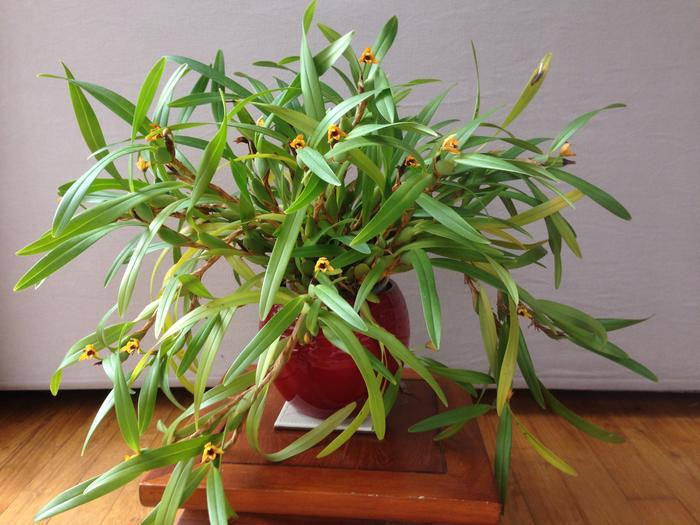 Maxillaria variabilis jaune M_516102368_0
