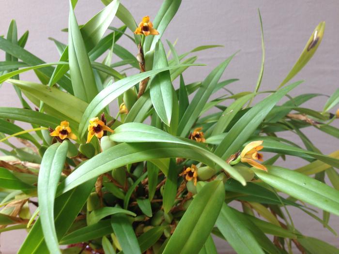 Maxillaria variabilis jaune M_516102372_0