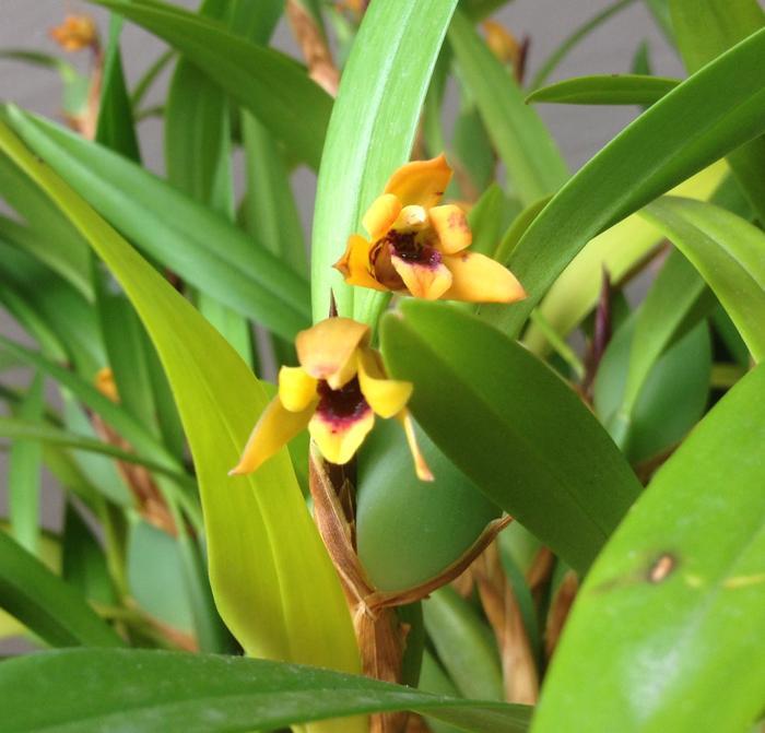 Maxillaria variabilis jaune M_516102380_0