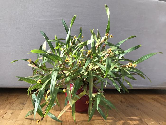 Maxillaria variabilis jaune M_547074554_0
