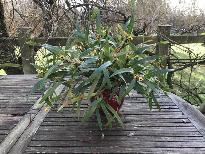 Maxillaria variabilis jaune M_547074567_0